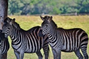 Zebre nel parco safari di Brioni